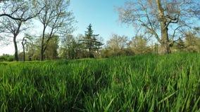 Sycamore Tree stock video