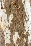 Sycamore tree - texture of the bark. The texture of the bark of the sycamore tree royalty free stock photo