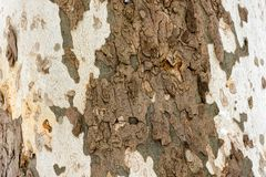 Sycamore tree - texture of the bark. The texture of the bark of the sycamore tree stock image