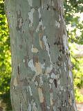 sycamore-tree-trunk Royalty Free Stock Photos
