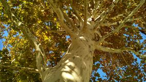 Sycamore tree trunk with branches and fall foliage. In a clear sunny day stock photo