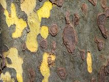 Sycamore tree trunk. Closeup of sycamore tree trunk bark Stock Image