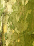 Sycamore tree trunk. Closeup of sycamore tree trunk bark stock images