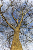 Sycamore Tree. A very old Sycamore Tree in Fort Erie Stock Images