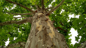 Free Sycamore Tree_2 Royalty Free Stock Photos - 96925538