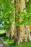 Sycamore trees Stock Photo
