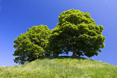 Sycamore Trees on the Castle Mound Oxford. Two Sycamore Trees on the Old Castle Mound Oxford Stock Image