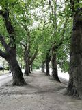 Sycamore trees in the city of York, England. Sycamore trees beside a walkway and river in the city of York, England, UK royalty free stock photos