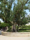 Sycomoor in Jericho, Israël royalty-vrije stock foto