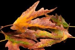 Sycomoorblad in de herfst stock afbeeldingen
