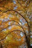 sycomore Photographie stock libre de droits