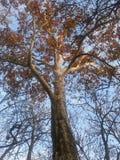 Sycomore en automne Images libres de droits