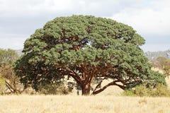 Sycomore fikonträd (fikussycomorusen) arkivfoton