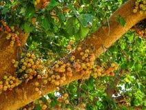Sycomorus фикуса, racemosa фикуса Стоковое Фото