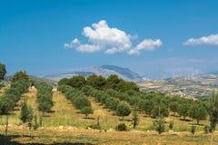 Sycylijczyka krajobraz z drzewami oliwnymi w oliwka ogródzie w Medit Zdjęcia Stock