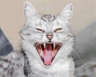 Syczący kot Obraz Royalty Free