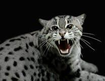 syczący kota tygrys Zdjęcia Stock