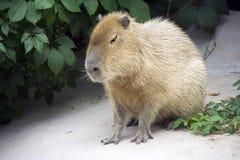 Sydamerika för ull för gnagare för Capybaraspill stor head herbivor för däggdjurs- vändkretsar royaltyfria foton