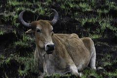 Sydlig afrikansk sp för bos för nötkreaturNguni tjur I bränt fält arkivbilder