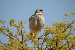 Sydlig blek skandera Goshawk, Melierax canorus Arkivbild