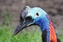 sydlig cassowary Arkivfoto