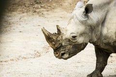 Sydlig Ceratotherium Simum för vit noshörning Royaltyfri Bild