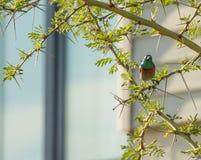 Sydlig dubblett-försedd med krage sunbird i spetsigt träd Royaltyfri Bild