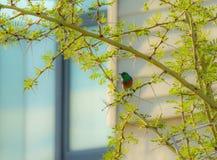 Sydlig dubblett-försedd med krage sunbird och att se lämnat som sitter på träd Royaltyfria Foton