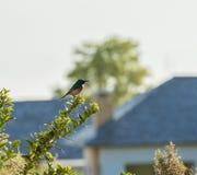 Sydlig dubblett-försedd med krage sunbird som ser höger med suddig bakgrund Royaltyfri Fotografi