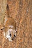 sydlig ekorre för flyga arkivfoton