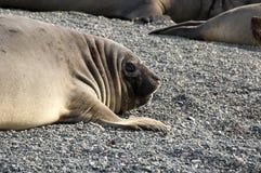 Sydlig elefantskyddsremsa på Pebble Beach royaltyfri bild