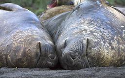 Sydlig elefantskyddsremsa, Zuidelijke Zeeolifant, Miroungaleonina royaltyfria foton