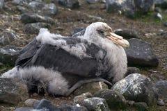 Sydlig fågelunge för jätte- stormfågel som sitter i redet Arkivbild