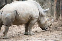 Sydlig för Ceratotheriumsimum för vit noshörning simum på den Philadelphia zoo Royaltyfri Bild