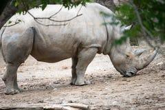 Sydlig för Ceratotheriumsimum för vit noshörning simum på den Philadelphia zoo Royaltyfri Fotografi