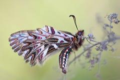 Sydlig festoon/Osterluzeifalter/Zerynthia polyxena arkivbild