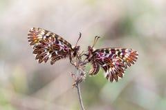 Sydlig fjäril för Festoon (den Zerynthia polyxenaen) Arkivfoto