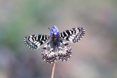Sydlig fjäril för Festoon (den Zerynthia polyxenaen) Arkivbild