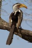 Sydlig guling-fakturerad hornbill Fotografering för Bildbyråer