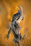 Sydlig Guling-fakturerad Hornbill, Tockus leucomelas, fågel med den stora räkningen i naturlivsmiljön, aftonsol som sitter på fil Arkivfoton