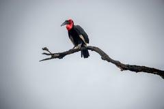 Sydlig jordhornbill i den Kruger nationalparken, Sydafrika Fotografering för Bildbyråer