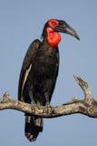sydlig jordningshornbill Royaltyfri Fotografi