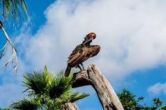 sydlig jordningshornbill Fotografering för Bildbyråer