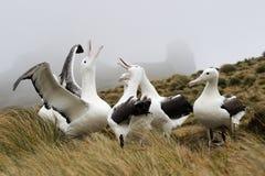 Sydlig kunglig Albatross (den Diomedea epomophoraen) Arkivfoton