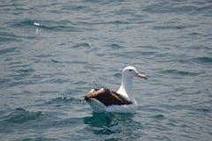 Sydlig kunglig albatross i Kaikoura, Nya Zeeland Arkivbild