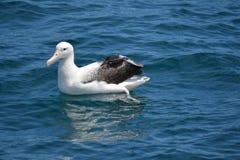 Sydlig kunglig albatross i Kaikoura, Nya Zeeland Arkivfoto