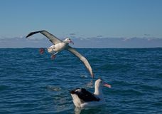 Sydlig kunglig albatross som kommer in i land på havet, Kaikoura, Nya Zeeland arkivbild