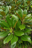 Sydlig magnolia Arkivfoto