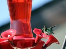 Sydlig Manitoba kolibri fotografering för bildbyråer