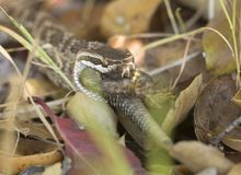 Sydlig Stillahavs- skallerorm som äter ödlan Arkivbild